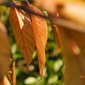 Photos: 紅葉の枯葉~autumn in zoom mix