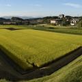 写真: 収穫まであと少し!