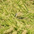Photos: 収穫中