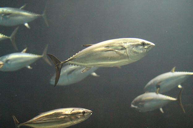 キンピカのマグロ@葛西臨海水族館