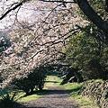 写真: 桜の小径