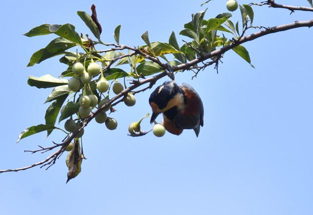 写真: エゴの実とヤマガラ-1