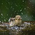 キビタキの水浴び-2