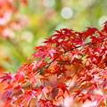 写真: 紅葉 清々しさと