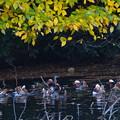 写真: 黄葉の下にオシドリ