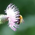 アザミとミツバチ FK3A5729 by ふうさん