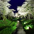 忍野村の桜