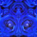 写真: 青い薔薇-04c(3)