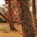 写真: 蔦の落葉