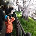 写真: 山崎川桜ライトアップ