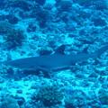 Photos: オグロメジロザメ