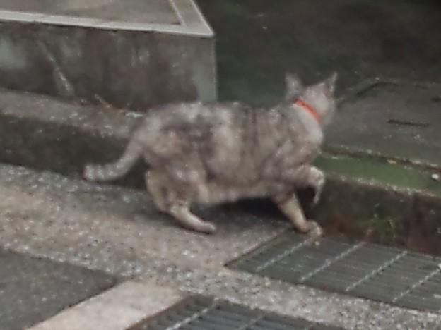 _171027 009 怪奇!腹毛が長い猫