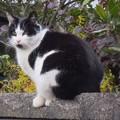 写真: _171218 119 ヒゲが優雅な黒白はちわれ猫