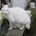 写真: _180116 134 おでこ灰色の白猫
