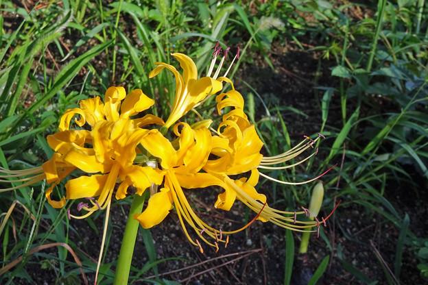 奇岩花 黄