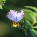 ツバメシジミ(燕小灰蝶)