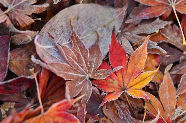 Photos: 落ち葉も凍る2