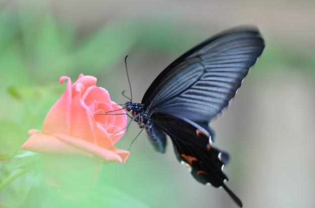 バラとアゲハ蝶