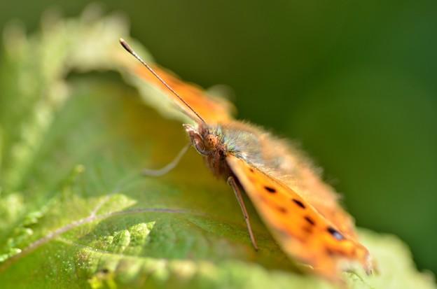 キタテハ蝶