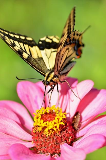 キアゲハ蝶