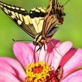 写真: キアゲハ蝶