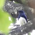 オオルリ♂成鳥