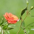 写真: 周辺の薔薇