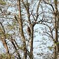 林の中のオオタカ