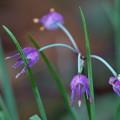 可憐な花(ヤマラッキョウの花かも?)
