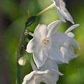 写真: 白水仙