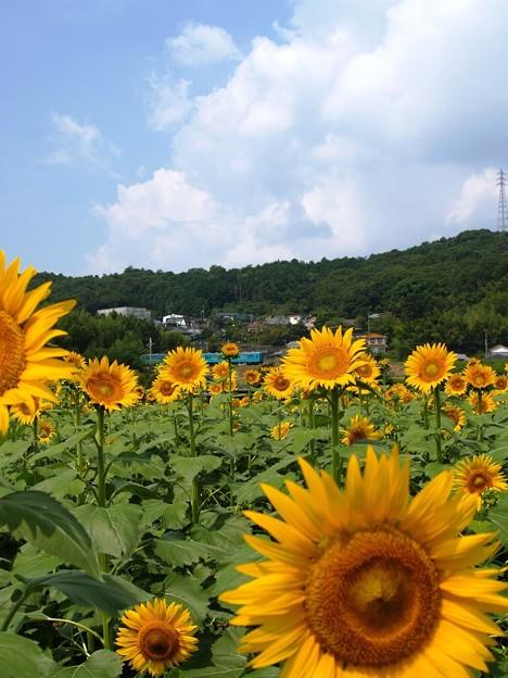 写真: 夏の記憶:ヒマワリ畑03