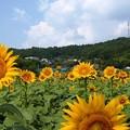 夏の記憶:ヒマワリ畑03