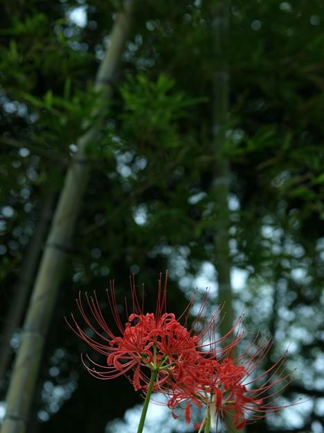 竹林に咲く:曼珠沙華46