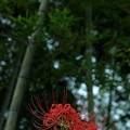 写真: 竹林に咲く:曼珠沙華46