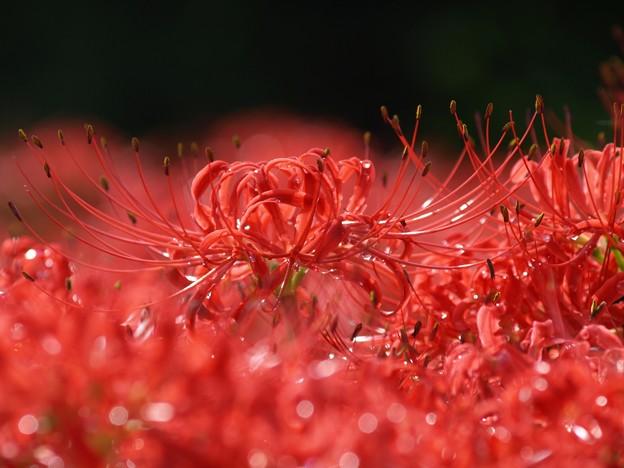 赤い雫:曼珠沙華31