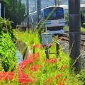 写真: 線路端の彼岸花~逗子