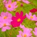 写真: 御殿場~秋桜