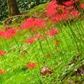 写真: 富山市 松川の彼岸花