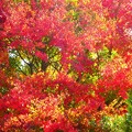 写真: 紅葉~御殿場市