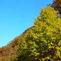 写真: 銀杏~逗子蘆花公園