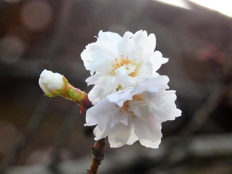 写真: 小福桜~徳川庭園