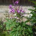 写真: クレオメ紫色