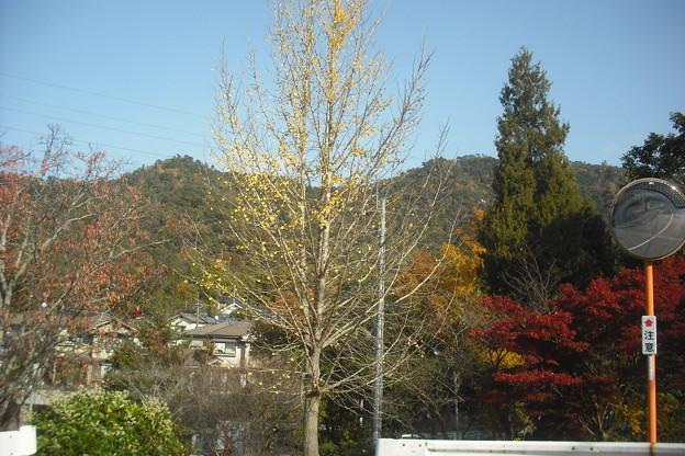 イチョウの落葉木