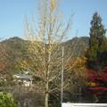 写真: イチョウの落葉木