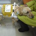 写真: 盲導犬