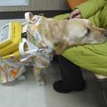 写真: 盲導犬2