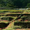 写真: 彼岸花の咲く棚田