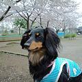 Photos: チョコちゃん 3月 049