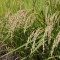 写真: 収穫の時期