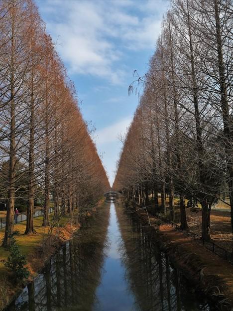 加須はなさき公園のメタセコイア並木